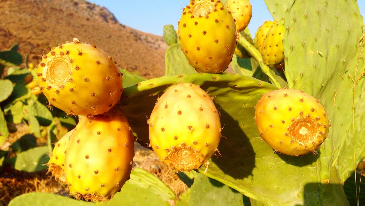 Why we love Prickly Pears so much!